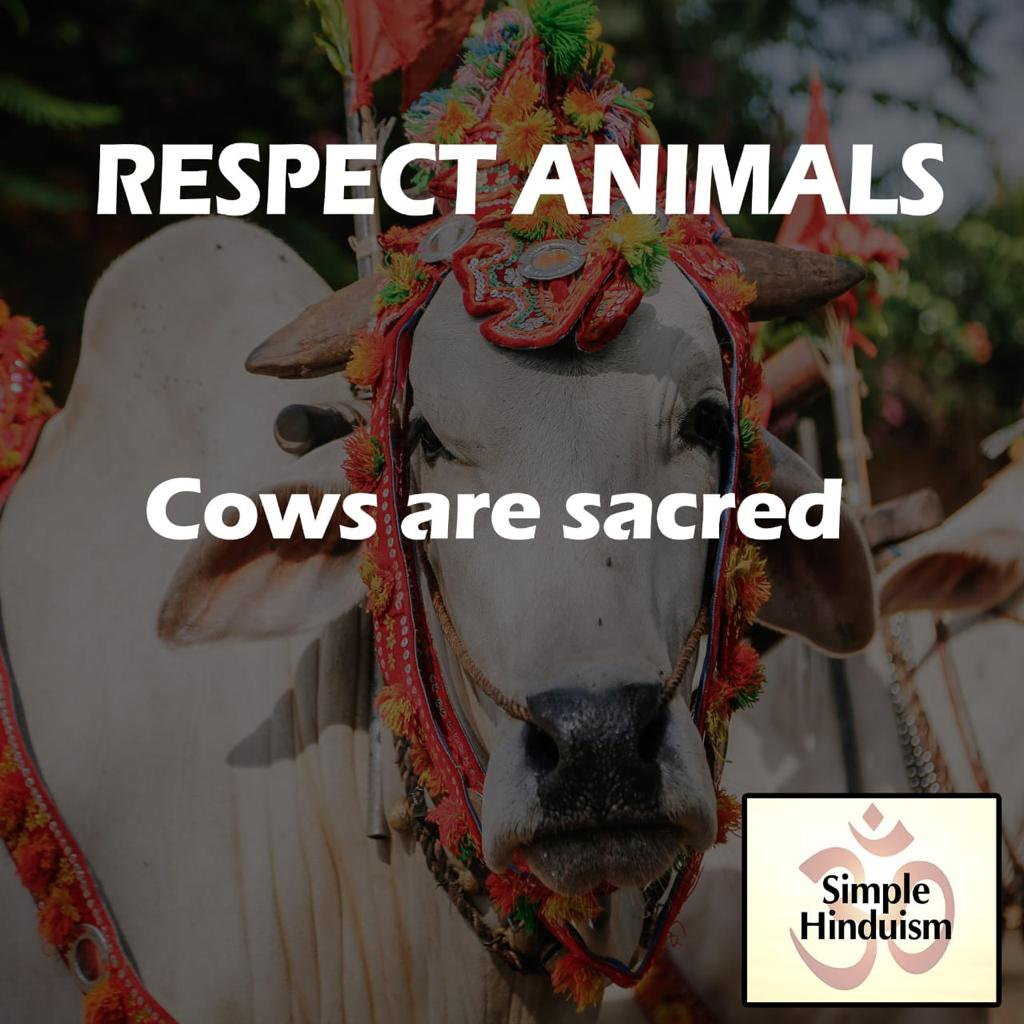 Cows are sacred why